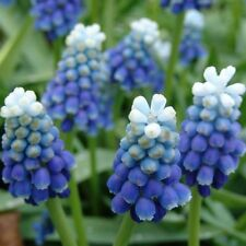 MUSCARI~A TOUCH OF SNOW~FRAGRANT BLUE&WHITE GRAPE HYACINTHS RARE IN USA 10/20/30