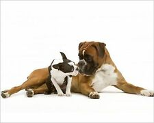 25x20cm Photo-Dog - Boston Terrier and Boxer sniffing each other -1453387-8105