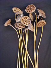 """Long stemmed dried water lily lotus pods with 2.5"""" to 3.5"""" heads"""