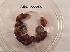 Large Dubia Roaches Blaptica Live feeder insects and fish bait