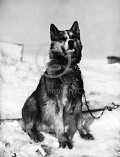 1913 CHRIS THE ANTARCTIC EXPLORATION MALAMUTE DOG PHOTO HISTORICAL Largest Sizes