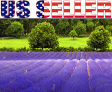 100+ English Lavender Seeds Blue Purple Sweetly Fragrant Foliage Decorative