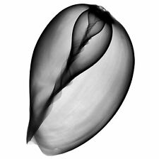 Xray photo of India Melon, Indian volute, or Baler Shell