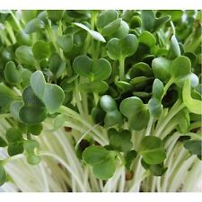 Organic Radish Seeds for Sprouting! *Natural Remedy*Super Nutritious*