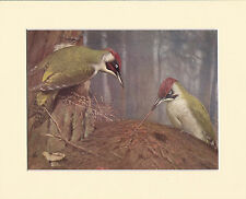 Green-Woodpeckers Catching Ants - Mounted 1930's Vintage Bird Print