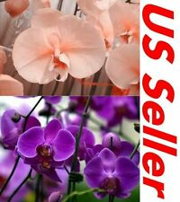 33 PCS Phalaenopsis Orchid Flower Seeds Peach B21 & Purple G7, Butterfly Orchid
