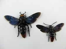 Megascolia azurea large Wasp PICK Pair (or single female) Taxidermy REAL Insect