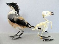 Cendet Pentet Bird Mount or Skeleton (You Pick) Taxidermy REAL Complete