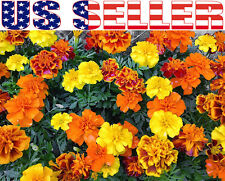 100+ French Marigold Sparky Mix Seeds Annual Flower Beautiful Decorative from US