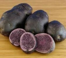 SEED POTATOES SALAD BLUE.  Both the skin and flesh are a strong, deep blue.