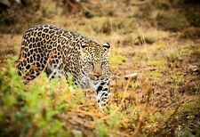 Leopard On The Prowl - Animal Poster Print - Leopard Photo Art - Wildlife Image