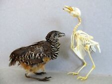 Taxidermy REAL Complete QUAIL Sp. 2 Bird Mount or Skeleton (You Pick).