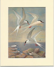 Arctic, Roseate & Common Tern - Mounted 1960s Bird Print YVRIH4BWXI