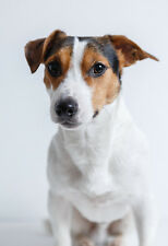 Jack Russell Terrier Portrait - Animal Poster - Dog Print - Dog Photo - Wall Art