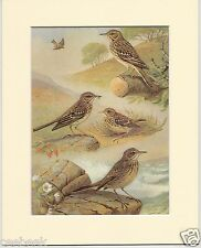 Meadow Pipit, Tree Pipit & Rock Pipit - Mounted 1960's Bird Print #330848