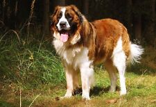 Loyal And Happy Saint Bernard - Animal Poster - Dog Photo - Dog Print - Wall Art