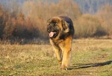 Leonberger: A Gentle Giant - Animal Poster - Dog Photo - Dog Print - Wall Art