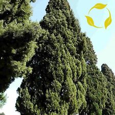 ITALIAN CYPRESS Cupressus Sempervirens SEEDS + EXTRA & FLAT SHIPPING