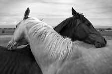 Horses in a Loving Embrace Black & White Animal HLE01 Poster A0,A1,A2,A3,A4