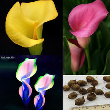 2 Bulbs Calla Lily Bulbs Potted Balcony Plant Calla Bulbs - 3 colors Available