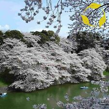MOUNTAIN WHITE SAKURA Prunus Serrulata 5,15,30 SEEDS