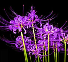 2- 4 Bulbs, Purple Lycoris Radiata, Spider lily, Lycoris Bulb