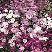 The Dirty Gardener Candytuft Dwarf Fairy Flower Mix