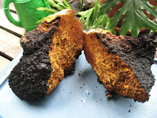 Birch mushroom Chaga natural certified from Siberia, gathering 2016 humidity 12%