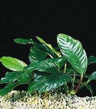 Loose Anubias Coffeefolia Live Aquarium plant for bogwood redmoor root tropical