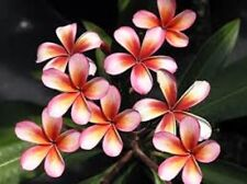 Plumeria (B&BW) Fragrance Oil Candle/Soap Making Supplies FREE SHIPPING