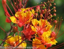 Pride of Barbados Tropical Seeds! Caesalpinia pulcherrima Fast Shipping from USA