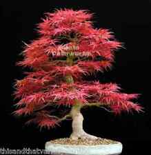 Bonsai Seeds Red Japanese Maple Acer palmatum Tree Seed!  Ships from USA!