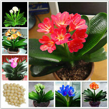 Real clivia seeds plants bonsai garden flower seed semente decorative flowers