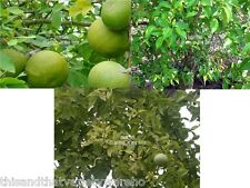 Aegle marmelos Bael Fruit Tree Seeds Fragrant Flowers Good Container Plant