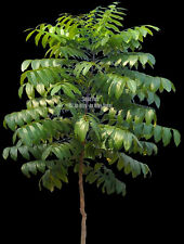 Seeds RARE Mahogany Tree Rare exotic Tropical Houseplant Swietenia mahogani