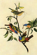 Painted Bunting Audubon Bird Vintage Art Poster Reproduction FREE SHIPPING