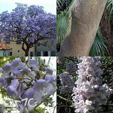 Empress Tree (Paulownia Tomentosa) seeds. FAST GROWER