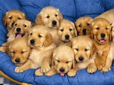 GOLDEN RETRIEVER PUPPIES GLOSSY POSTER PICTURE PHOTO dogs puppy labrador 611