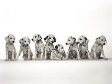 DALMATION PUPS GLOSSY POSTER PICTURE PHOTO dog 101 puppy puppies cute pets 829