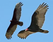TURKEY VULTURES GLOSSY POSTER PICTURE PHOTO buzzards birds animals flying 110