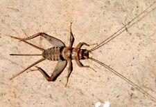 Live Crickets - 500 Count All Size $15.00 Free Shipping