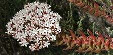 Crassula Dejecta 'Attractive and easy succulent' x Fresh Seed