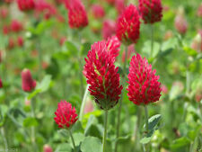 Crimson Clover Seeds,Improve Your Garden Soil,Cover-Crop,Raw Or Inoculated!