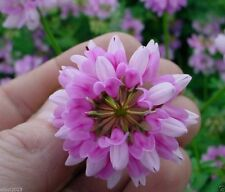 Crown vetch-Penngift,Attractive,Perennial,Ground Cover.Approx.8,000 Seeds Per Oz
