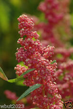 Quinoa Plant Seeds- Red Head -bright pinkish red seed heads, white seeds.