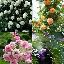New 100pcs Climbing Rose Seeds Multiflora Flower Home Party Garden Decor