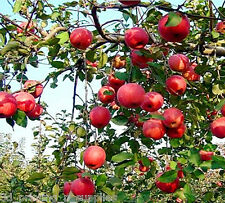 "Fuji Apple, Malus pumila ""Fuji"", Tree Seeds"