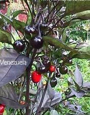 Venezuela Hot - Pepper Seed,Capsicum Annuum –  medium heat, Rare, from Venezuela