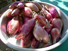 ONION - LONG RED TROPEA (Allium Cepa) HEIRLOOM Seeds