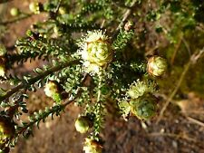 LEMON HONEY-MYRTLE (Melaleuca Densa) Seeds